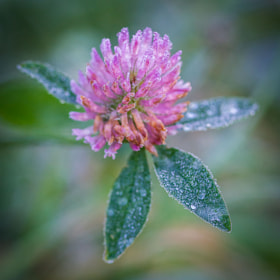 Frozen Clover by Mihail Bidnichenko (1619)) on 500px.com