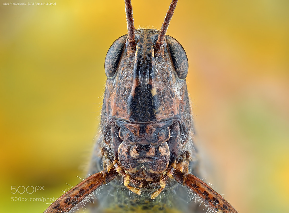 Photograph Grasshopper. by ireneusz irass walędzik on 500px