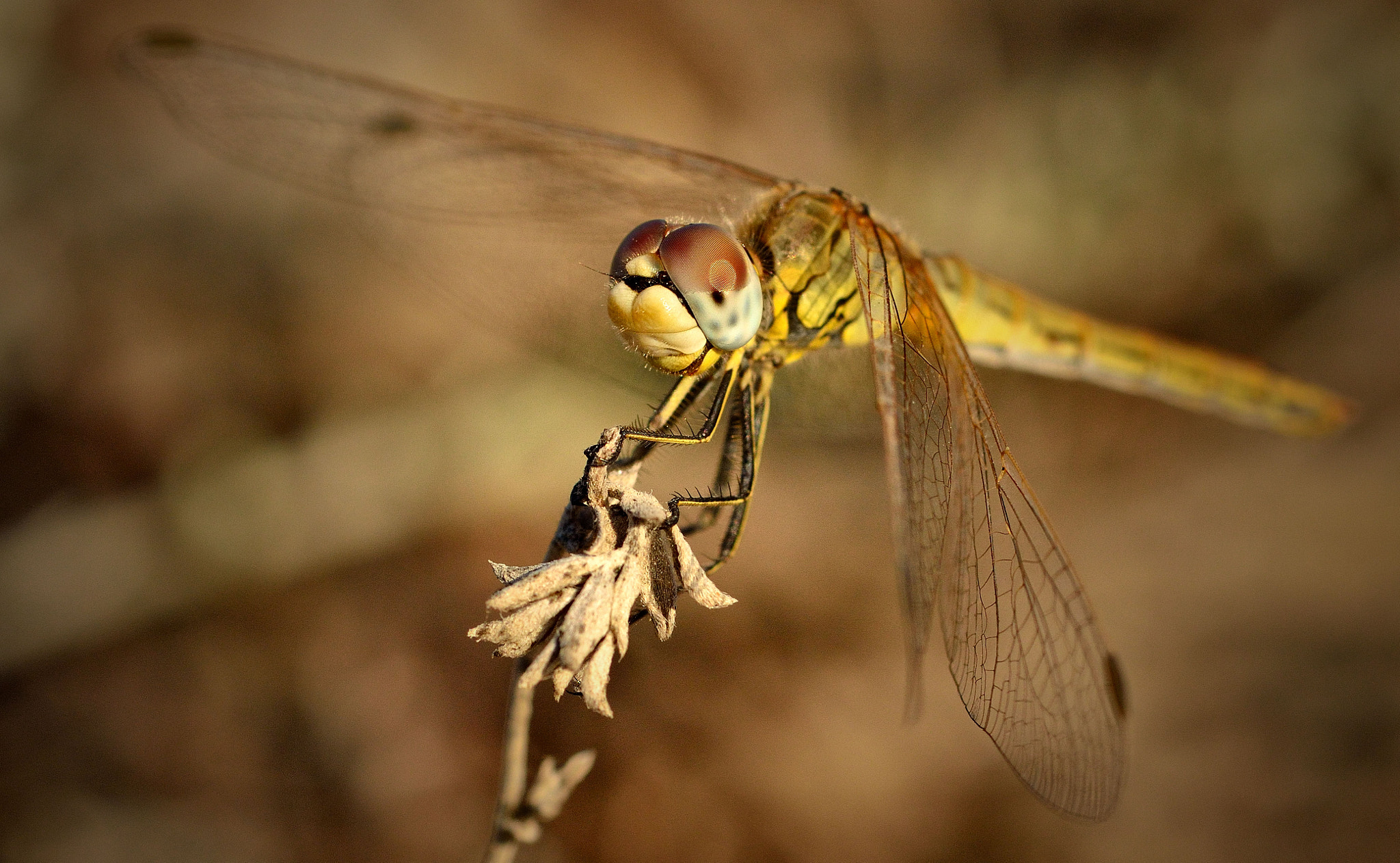 Photograph Kos Dragonfly by Steven Hindon on 500px