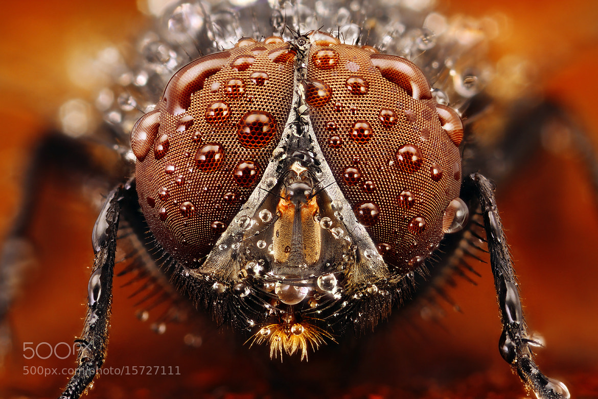 Photograph Fly with drops by Kvejlend (Dusan Beno) on 500px