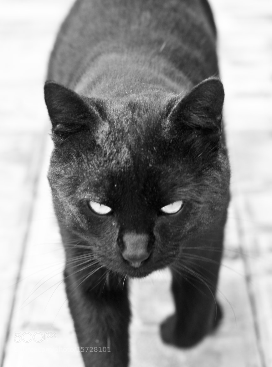 Photograph serious black cat by Alexander Dolgov on 500px