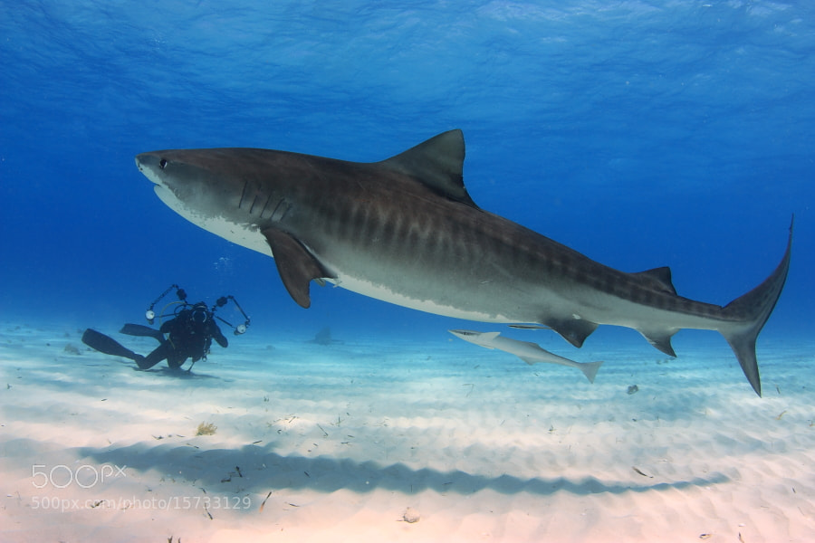 Photograph Tiger Shark by Francisco Javier Parrilla on 500px
