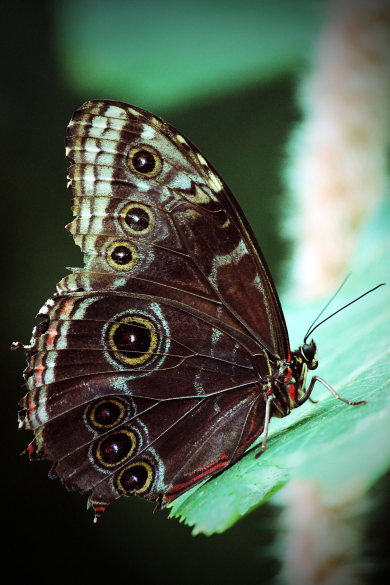 Photograph Owl Butterfly by Jason McSpadden on 500px