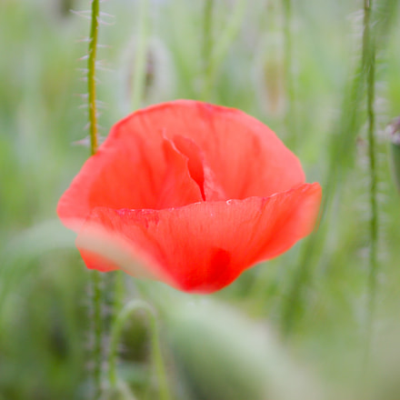Just a Poppy