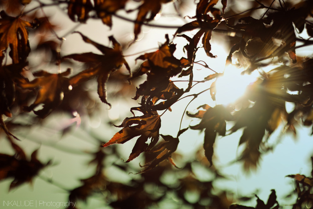 Photograph Maple leaves by Inka Utrata on 500px