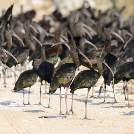 Party of Glossy Ibises: When will be served a cocktails?!