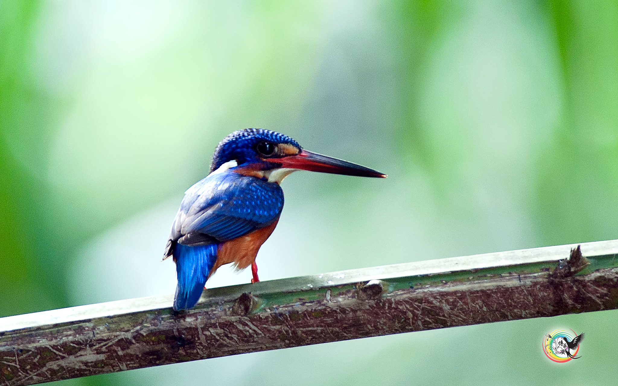 Photograph Blue-Eared Kingfisher by Andy Fu on 500px