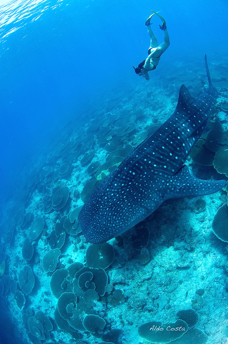 Photograph Whale Shark by Aldo Costa on 500px