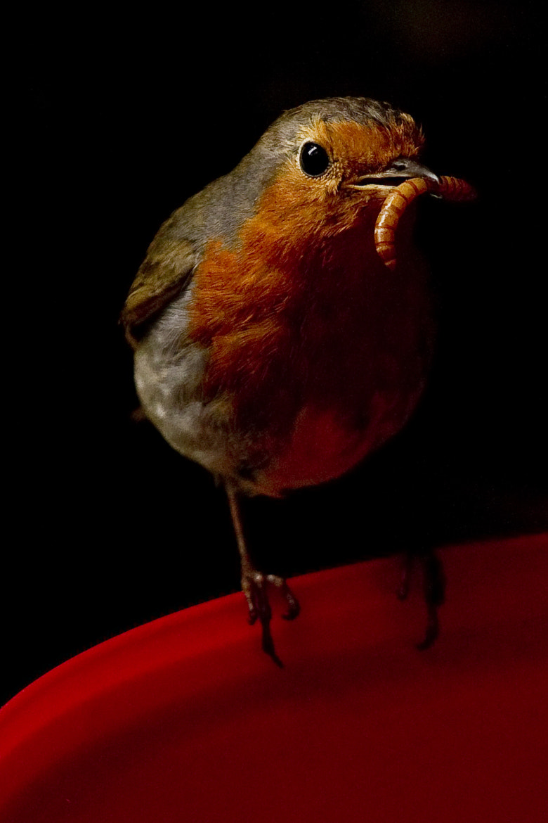 Photograph Robin (Erithacus rubecula) by Edward Millership on 500px