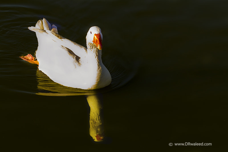 Photograph Duck  by Waleed AlShumrani on 500px