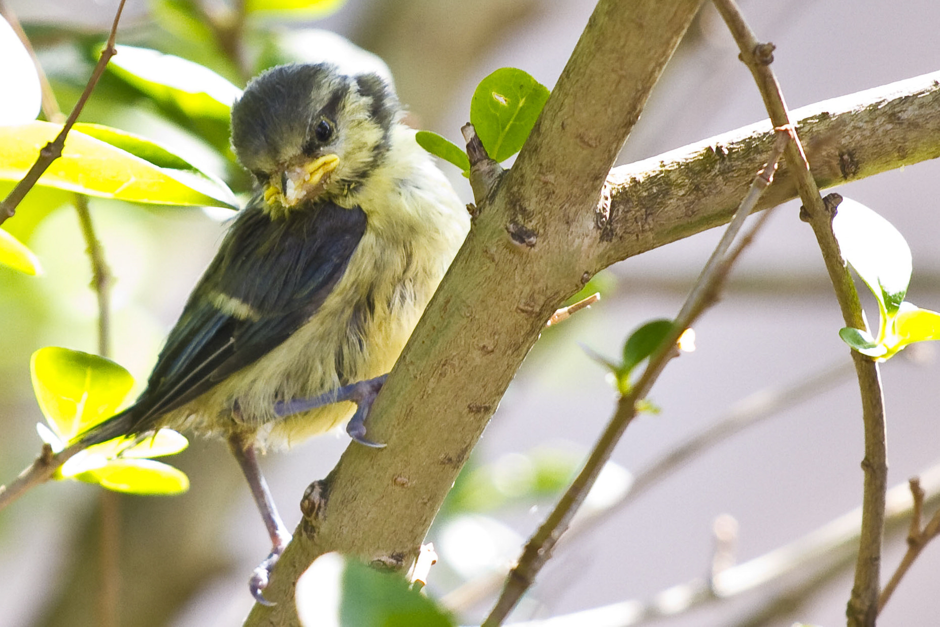 Photograph Blue Tit (Cyanistes caeruleus) by Edward Millership on 500px