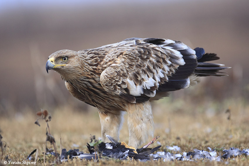 Photograph Imperial Eagle Aquila heliaca by Yoram Shpirer on 500px