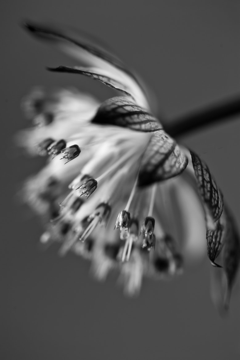 Photograph Astrantia in B&W by Jenni Lucas on 500px