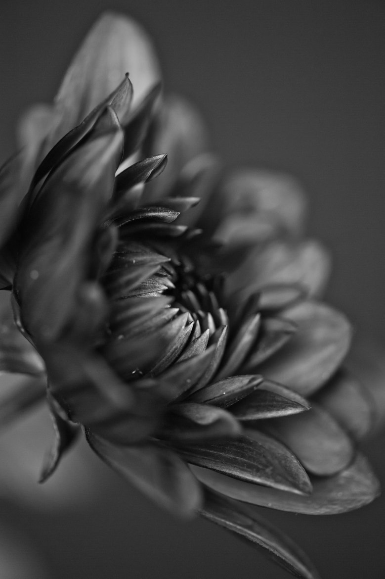 Photograph Dahlia in Black & White by Jenni Lucas on 500px