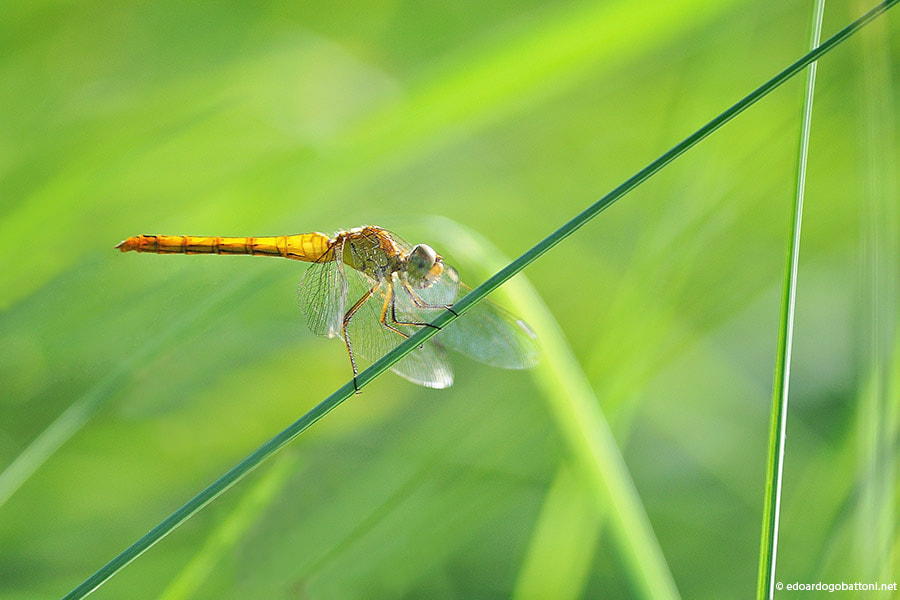 Photograph a magical dragonfly by Edoardo Gobattoni on 500px