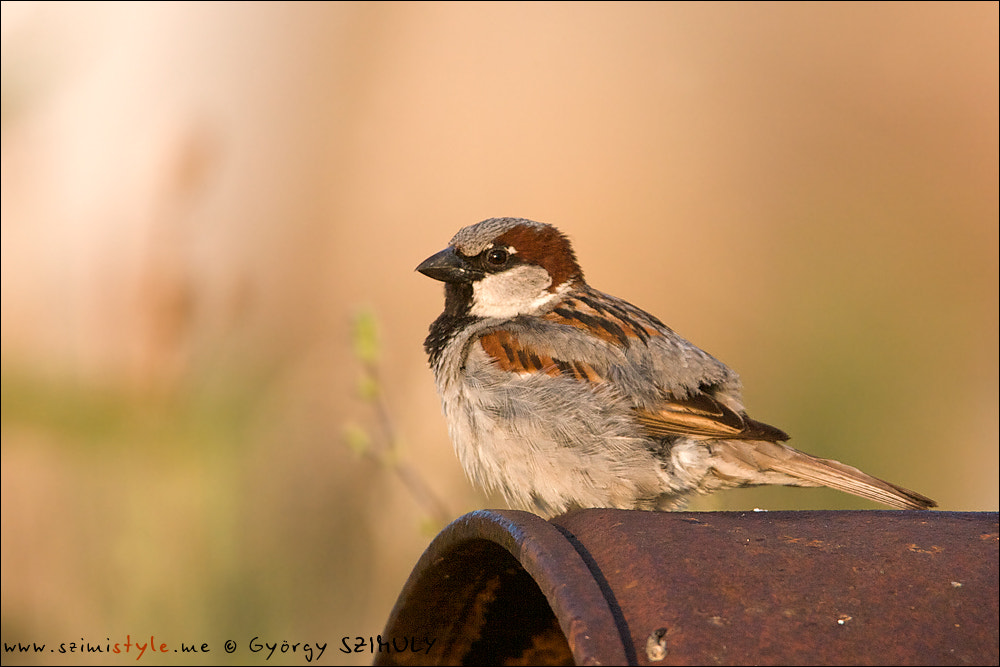 Photograph House Sparrow (Passer domesticus) by Gyorgy Szimuly on 500px