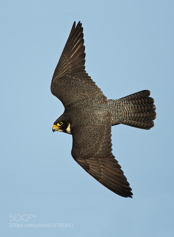 Photograph Peregrine Falcon by Ofer Levy on 500px