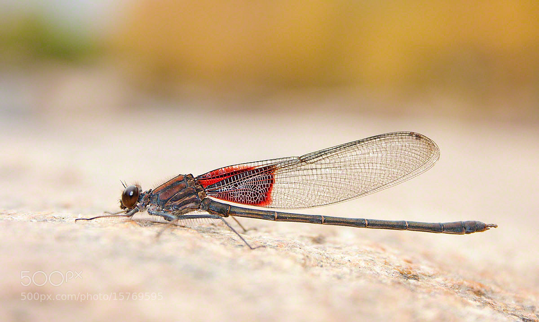 Photograph Golden Dragonfly by David Gerard Burkhardt on 500px
