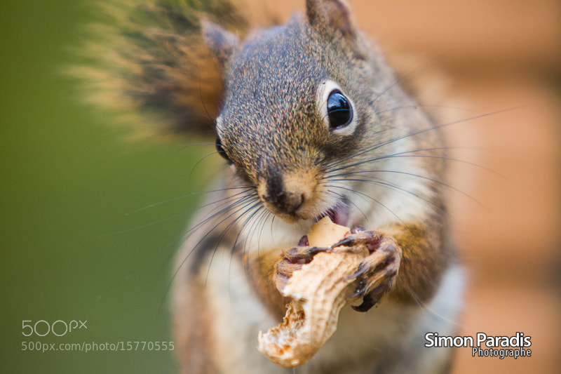 Photograph Cutest Squirrel by Simon Paradis on 500px