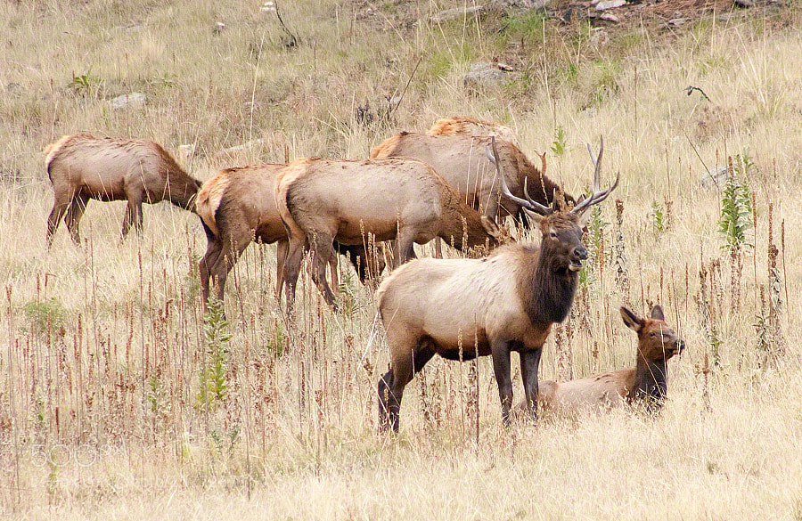 There are Elk