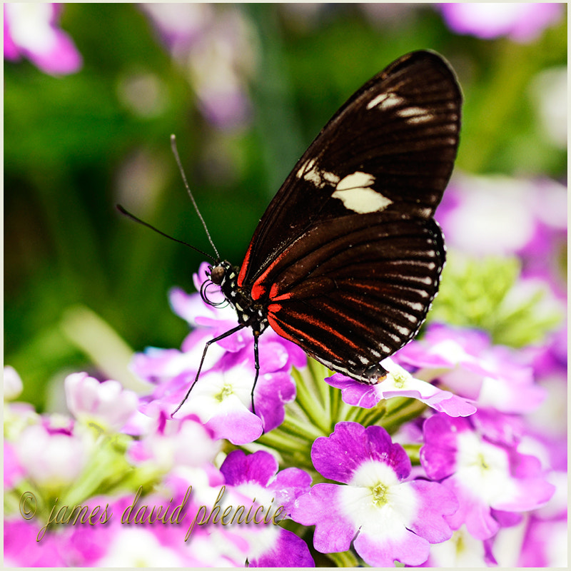 Butterfly Series:  Tiger Longwing #2