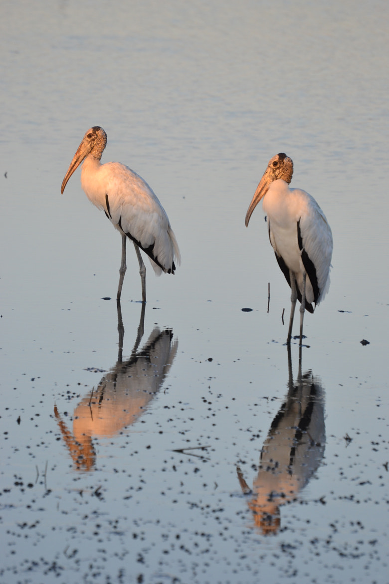 Photograph Wood Stork by Patricia Warren on 500px