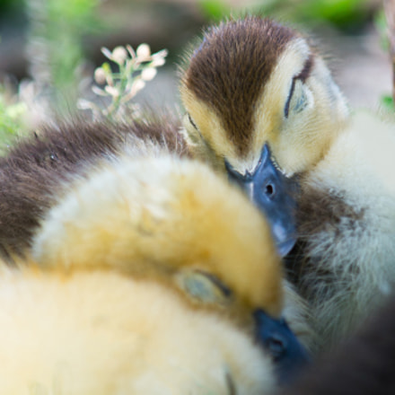 Muscovy Ducklings Sleeping, Sony SLT-A57, Tamron SP AF 200-500mm F5.0-6.3 Di LD IF