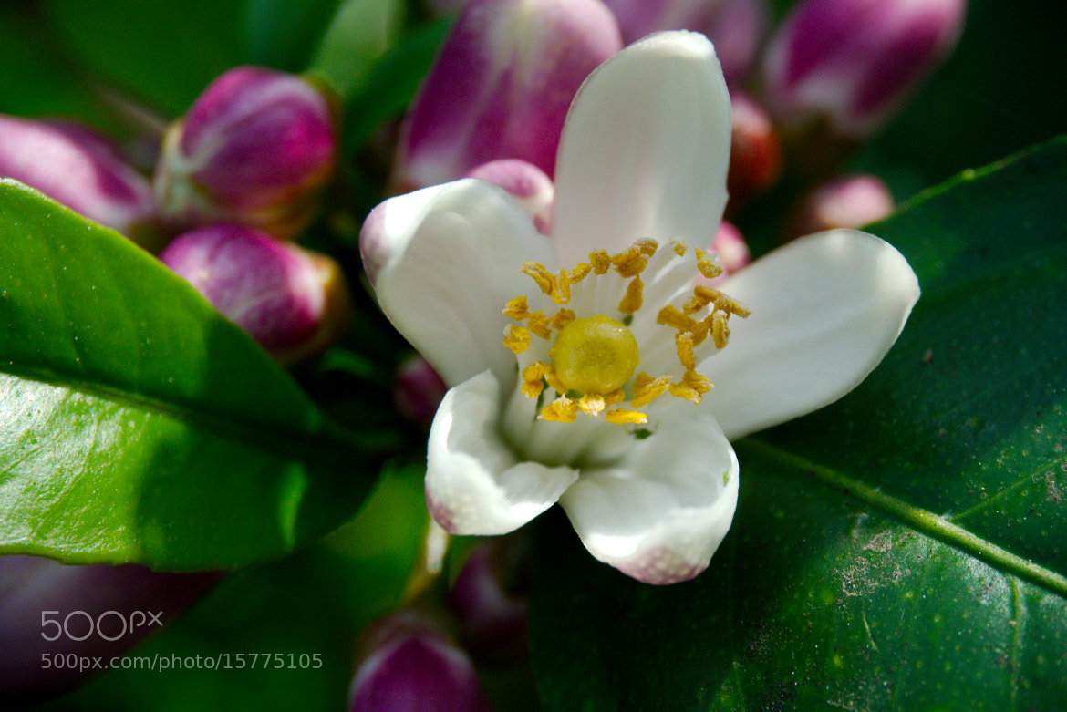 Photograph Lemon Blossom by Christopher Hunt on 500px