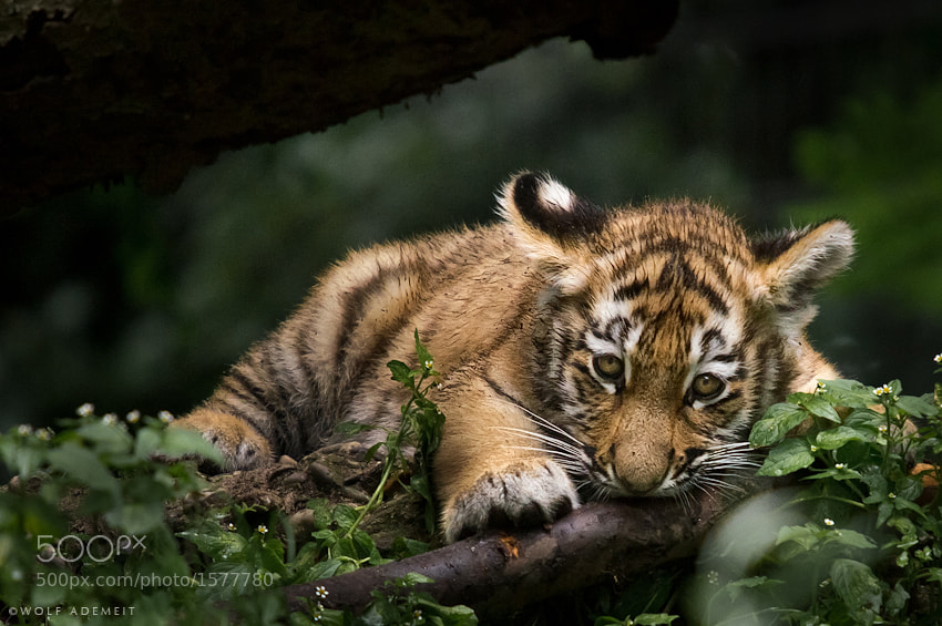 CUTE KITTEN by Wolf Ademeit (WolfAdemeit) on 500px.com