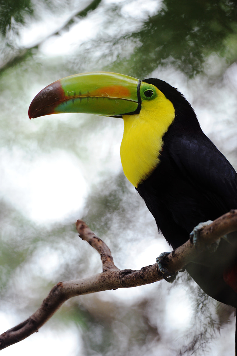 Photograph Toucan by Cristobal Garciaferro Rubio on 500px
