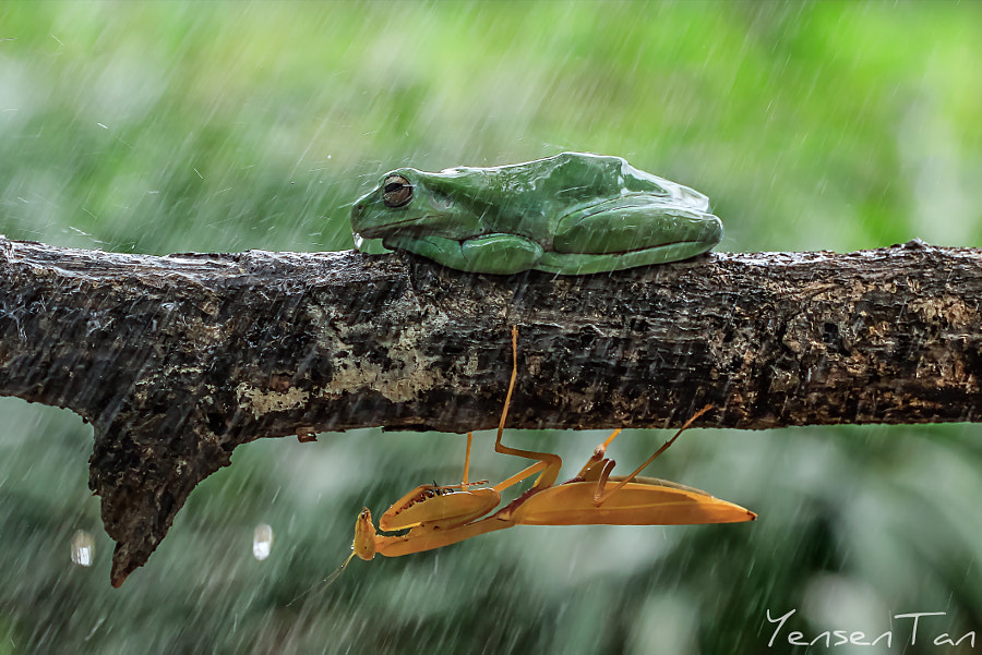 Mantis Take Shelter Under The Frog, автор — YensenTan (TantoYensen) на 500px.com