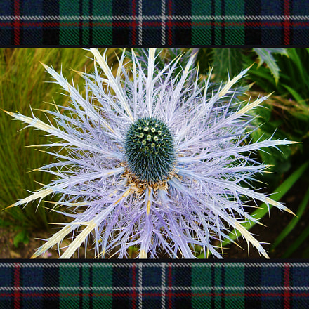 The Scotland flower, Panasonic DMC-FX8