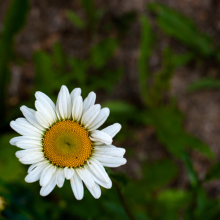 Back yard flower, Pentax K20D, HD PENTAX-DA 35mm F2.8 Macro Limited