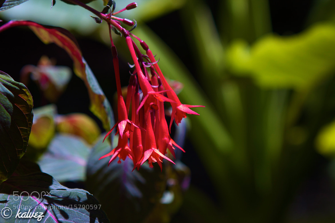 Photograph red flower by Carlos Alves on 500px