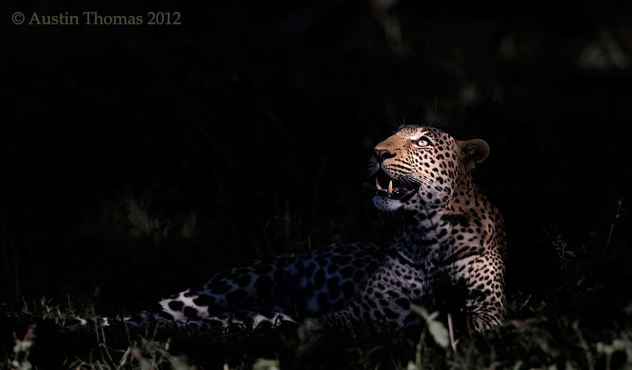 A Leopard in the spotlight...