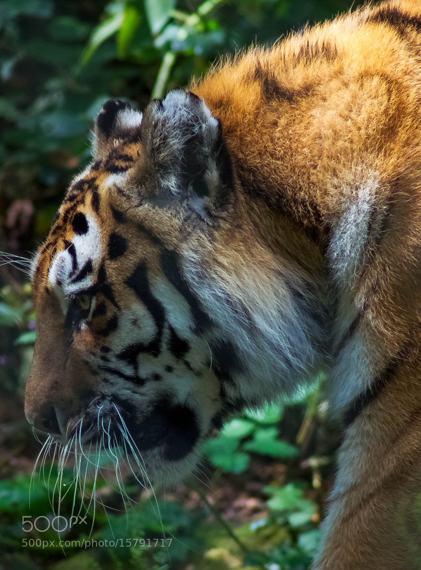 Photograph Tiger - Dartmoor Zoological Park by julian john on 500px