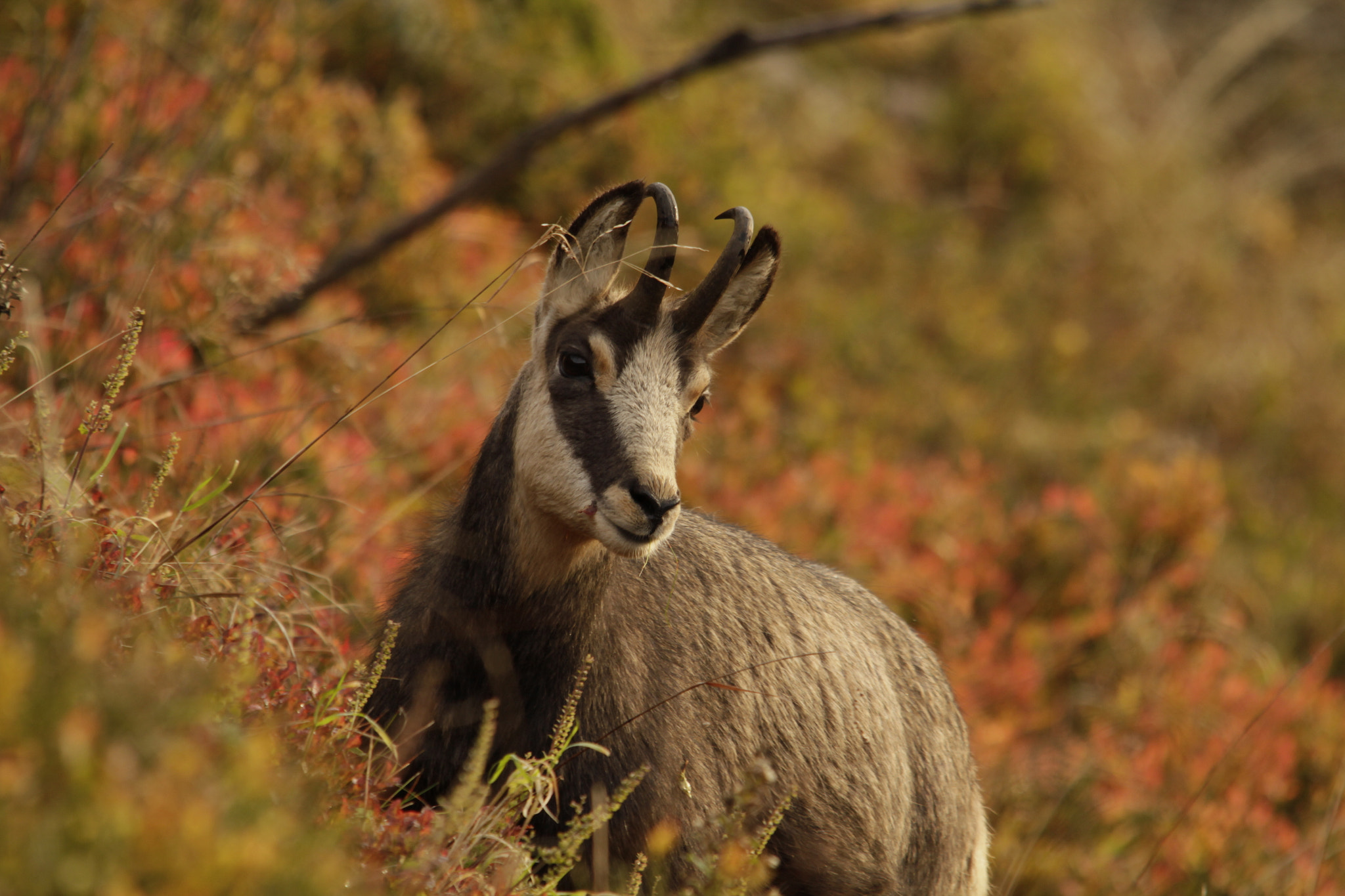 Photograph Chamois du Hohneck II by Lucas Bieber on 500px