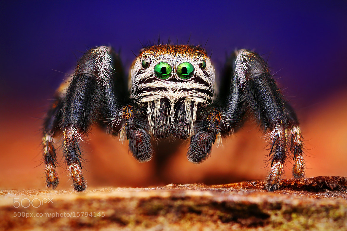 Photograph Jumping spider by Kvejlend (Dusan Beno) on 500px