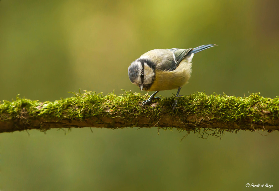 Photograph Blue Tit by Harold van den Berge on 500px