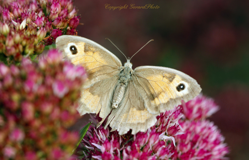 Photograph Exhausted butterfly looking for colors by Gerard Photo on 500px