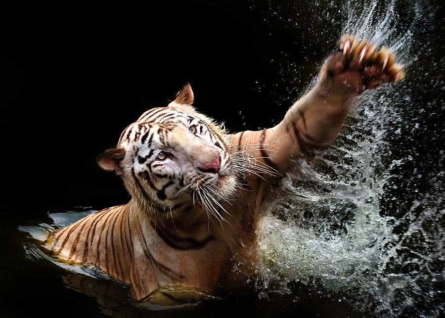 Tiger swim by Ivan Lee on 500px.com