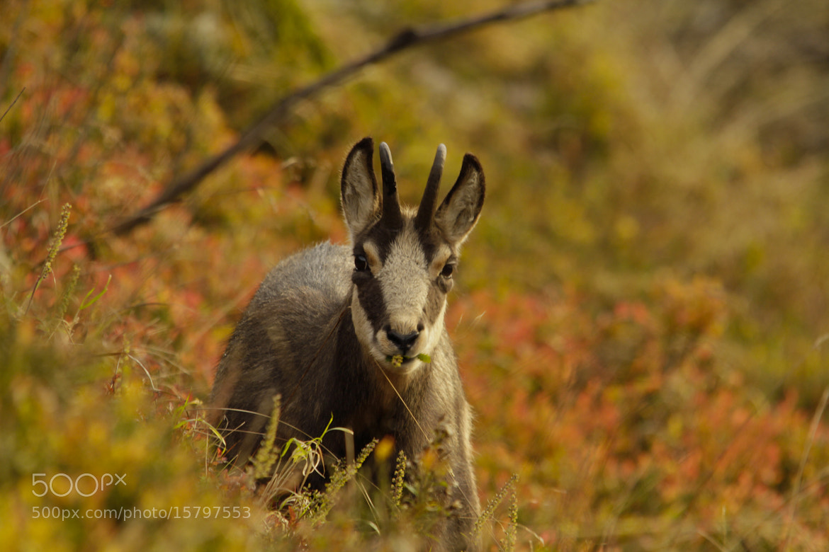 Photograph Chamois du Hohneck III by Lucas Bieber on 500px