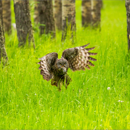 A Great gray owl's, Canon EOS 5D MARK III, EF100-400mm f/4.5-5.6L IS II USM