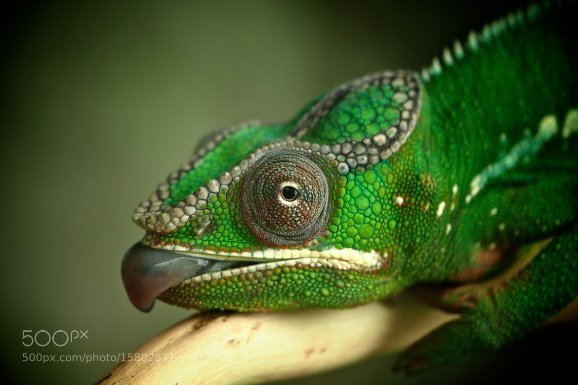 Photograph Panther Chameleon by John Purchase on 500px