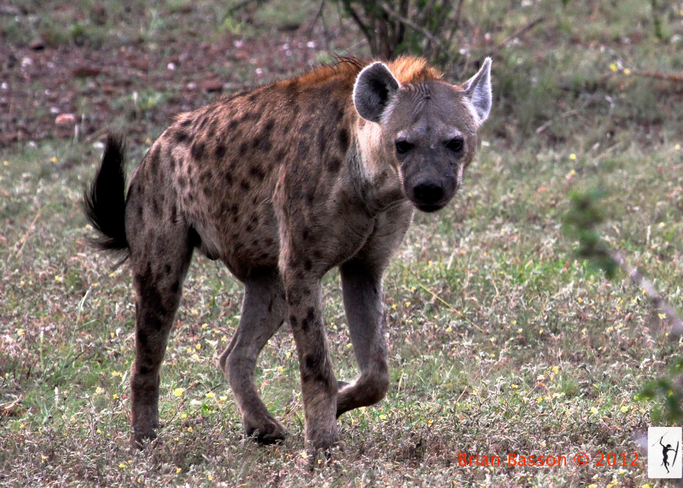 Photograph Spotted Hyena  by Brian Basson on 500px