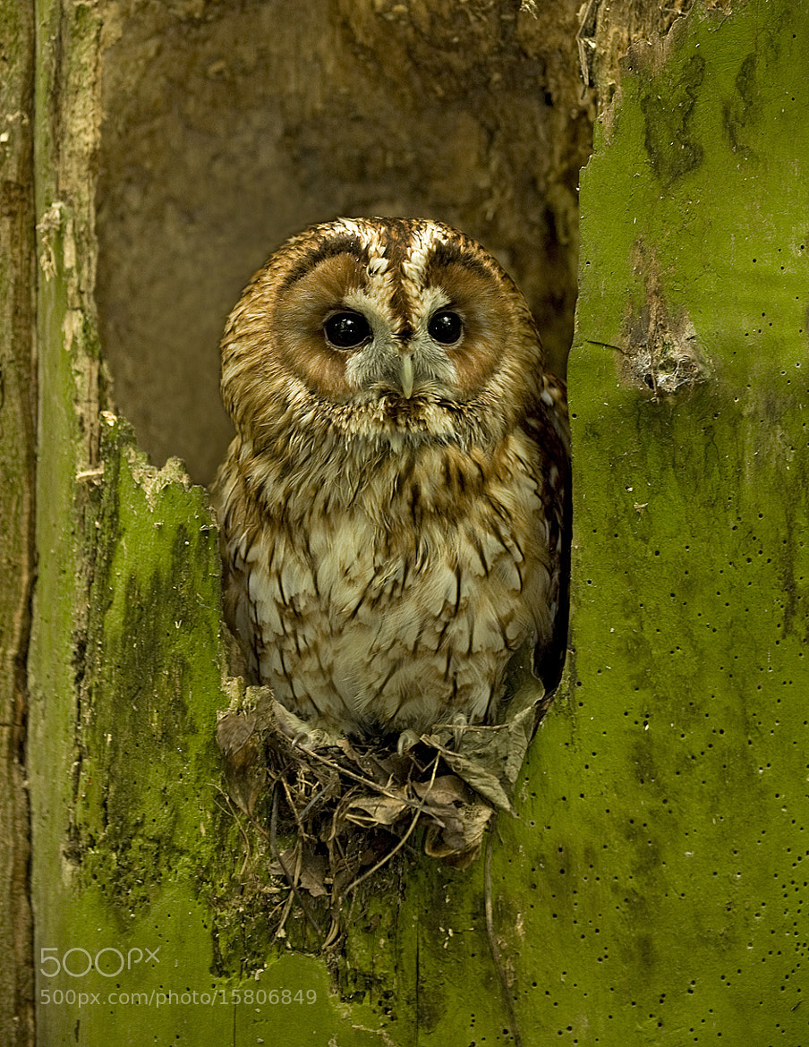 Photograph Tawny Owl by Ronald Coulter on 500px