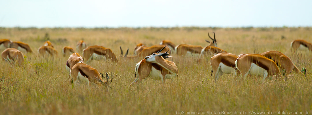 Photograph Springboks by Simone and Stefan Brausch on 500px