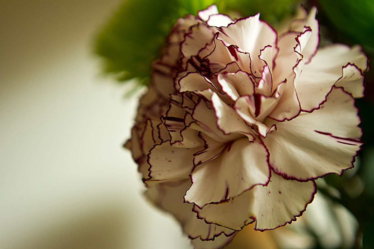 Photograph Carnation by Diana Dante on 500px
