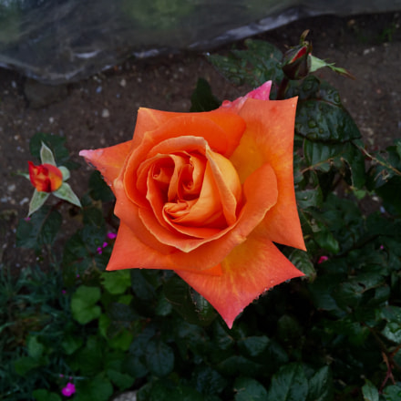 Orange Rose on a dark day