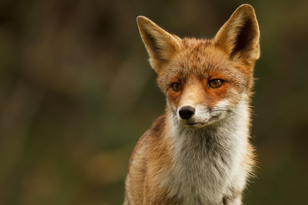 Photograph Fox by Tom  Kruissink on 500px